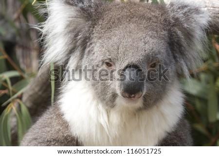 Koala sits in the Eucalyptus, Australia - stock photo