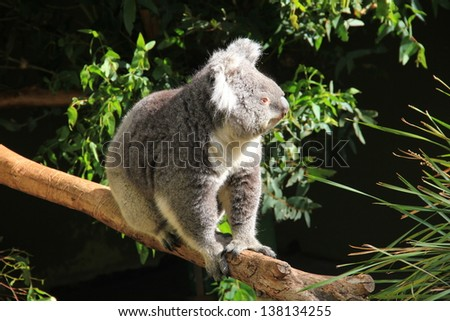 Koala walking on a tree - stock photo
