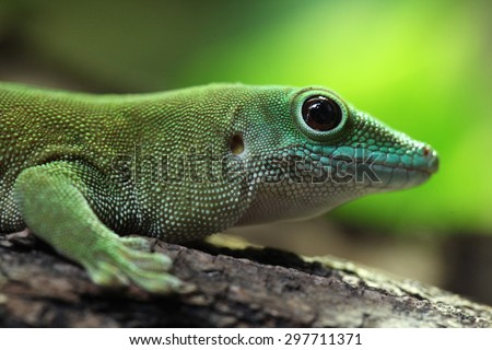 Koch's giant day gecko (Phelsuma madagascariensis kochi), also known as the Madagascar day gecko. Wildlife animal.  - stock photo
