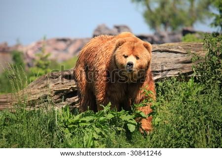 kodiak bear - stock photo