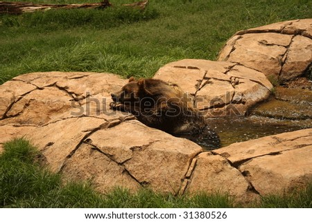 Kodiak Bear relaxing in a bath