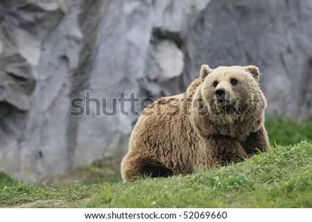 kodiak brown bear - stock photo