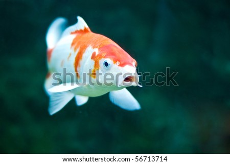Koi Carp - stock photo