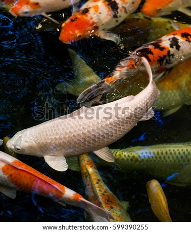Koi fish pond stock photo 583507549 shutterstock for Large koi fish