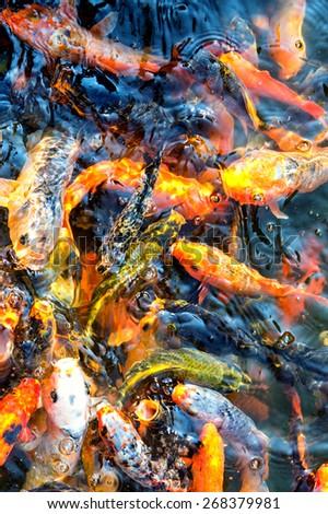 Koi carp, symbols of good luck and prosperity in Japan - stock photo