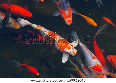 Koi carps fish japanese swimming cyprinus carpio for Koi carp pool design