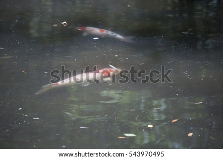 Koi (Cyprinus carpio), also called nishikigoi, swimming