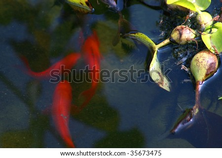 koi fish in a pond by plants