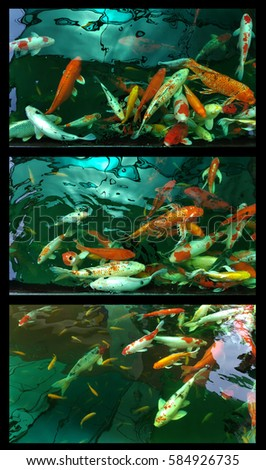 Koi stock images royalty free images vectors shutterstock for Koi fish family