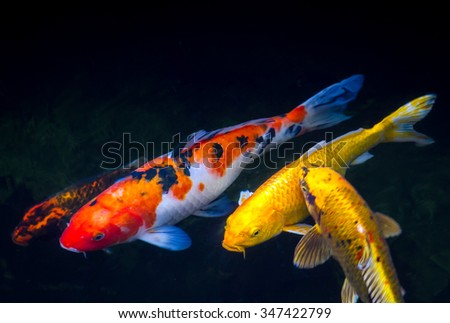 Koi fish inside the pond