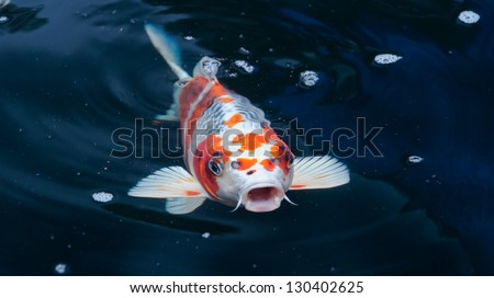 Koi fish stock photos images pictures shutterstock for Koi fish swimming