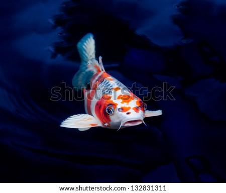 Orange koi fish stock images royalty free images for Koi fish swimming