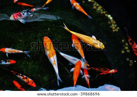 Koi fish stock photo 96515503 shutterstock for Koi fish swimming pool