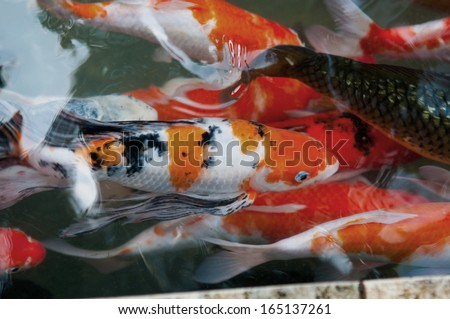 Koi or carp chinese fish in water