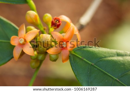 stock-photo-kola-nut-flowers-and-buds-co