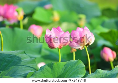 Komarov lotus relict Tertiary species can be found in the Primorsky Krai, Russia. According to Hinduism the lotus is the foremost symbol of beauty prosperity and fertility - stock photo