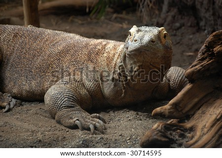Komodo Dragon - stock photo