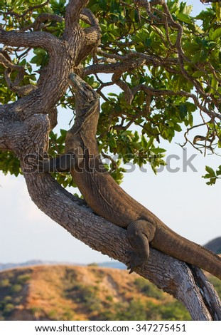 Komodo dragon climbed a tree. Very rare picture. Indonesia. Komodo National Park. An excellent illustration.