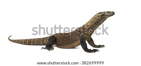 Komodo Dragon isolated on white (4 years old)