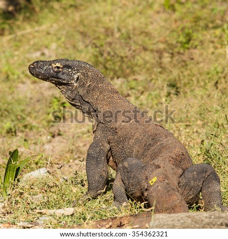 komodo dragon ranked as a reptile lizard species. The habitat on Komodo Island. - stock photo