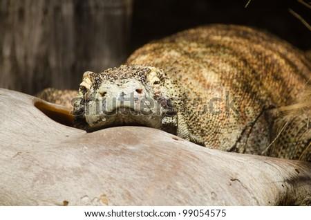 komodo dragon sleeping - stock photo