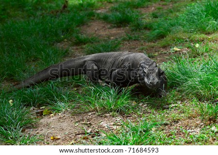 Komodo dragon walking in green grass and looking to somwhere. Rinca island. National park Komodo. - stock photo