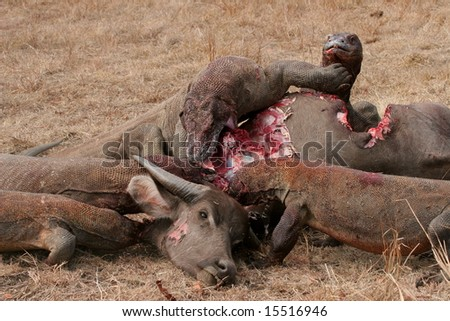 Komodo dragons eating wild buffalo, Rinca Island, Indonesia