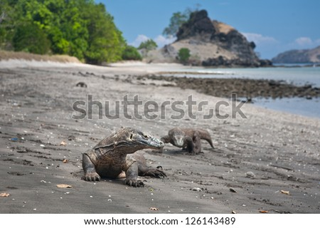 Komodo dragons (Varanus komodoensis) is a giant monitor lizard found on a few islands in Indonesia including Komodo Island.  They can grow over three meters in length and are carnivorous. - stock photo