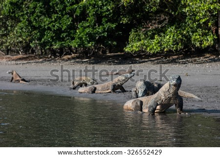 Komodo dragons (Varanus komodoensis) walk on a volcanic beach on the southern coast of Rinca Island in Komodo National Park, Indonesia. There are only a few thousand Komodo dragons left on Earth.