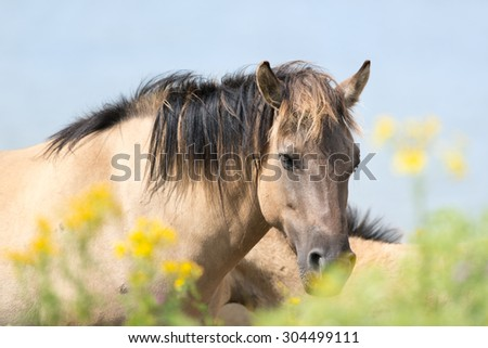 Konik horses behind yellow flowers - stock photo