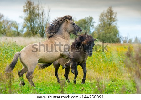 Konik horses in action