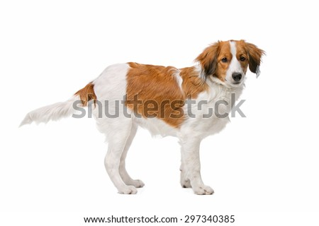 Kooiker dog, Dutch Dog breed, in front of a white background