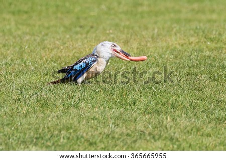 Kookaburra and sausage. A cute little blue-winged kookaburra gets to grips with its sausage lunch. - stock photo