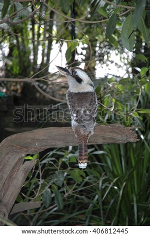 kookaburra Australia - stock photo