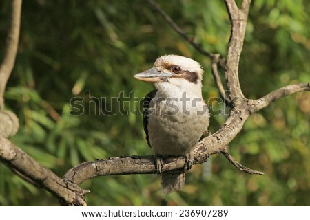 Kookaburra- Australian native bird - stock photo
