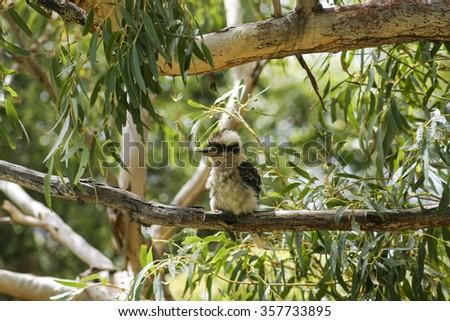 Kookaburra. Booderee National Park. Jervis Bay. NSW. Australia  - stock photo