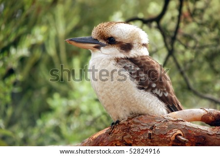 Kookaburra (Dacelo) sitting on a branch on green background - stock photo