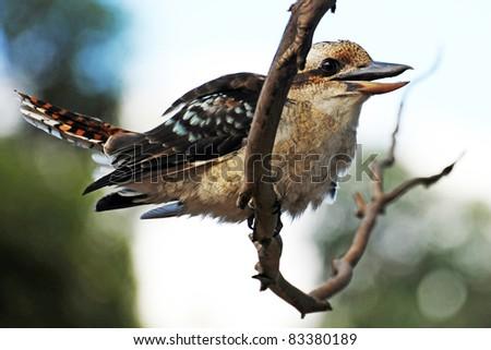 Kookaburra, Grampians, Australia - stock photo