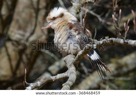 Kookaburra in Melbourne - stock photo