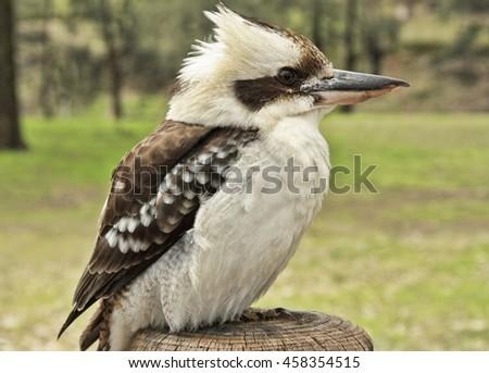 kookaburra on a post in a national park Australia - stock photo