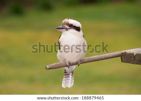 Kookaburra perched on a stick waiting for food. - stock photo