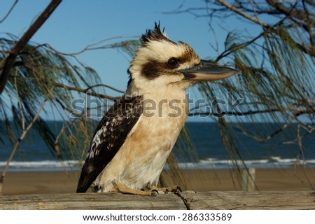Kookaburra sitting on a fence - stock photo