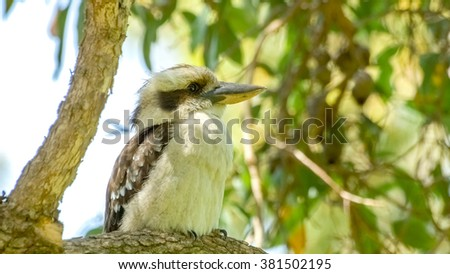 Kookaburra sitting on gum tree - stock photo