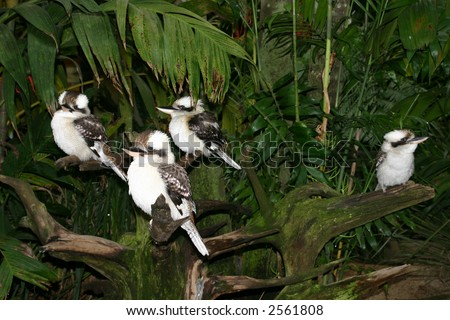 Kookaburras:  Four kookaburras take shelter under the trees on a rainy Australian day. - stock photo