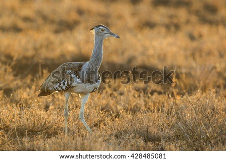 Kori bustard walking in grassy bush at sunrise, Kruger National Park