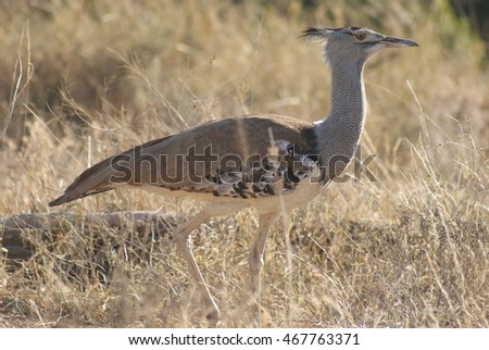 Kori Bustard walking in the veld