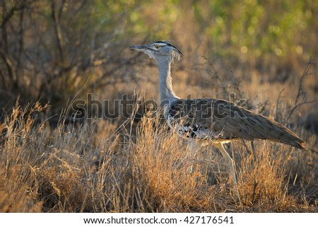Kori bustard walking on ground at sunset with rim light