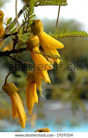 Kowhai Flower - stock photo