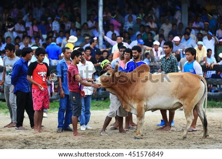 KRABI, THAILAND - November 16 :  Owners and trainers prepare a cow before a fighting of cow fighting competition begins on November 16 , 2012 in Krabi, Thailand.  - stock photo