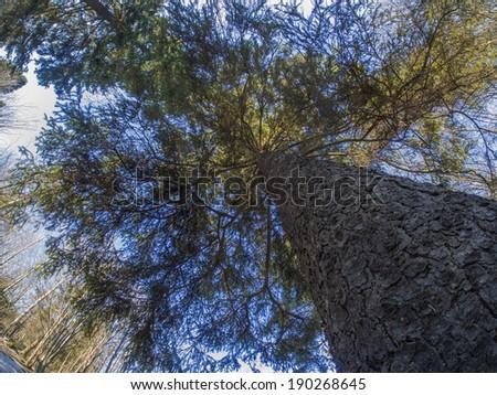 Kroon spruce - stock photo